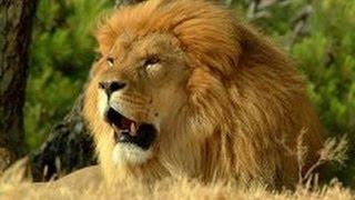 Хищники убийцы Африки. Саванна. Лев царь зверей. Документальный фильм.