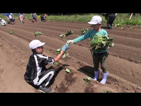種子島の学校活動:安納小学校安納芋苗植え付け学習体験2019年