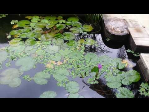 Video Cara Merawat Kolam dan Tanaman Air Mudah Praktis Murah | TIPS BERKEBUN ORGANIK