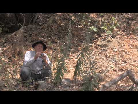 Video MUGWORT: A wild plant with many uses!  Christopher tells you!