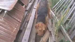 Airedale terrier hunt WP 20150516 004