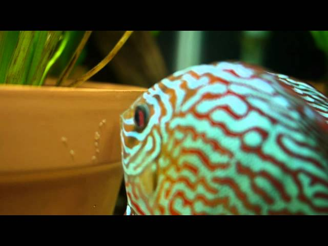 Discus spawning in planted community tank