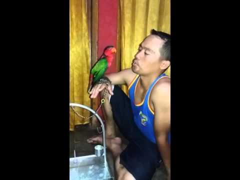 Video Belajar menjinakkan burung nuri