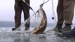 40-ка кілограмових товстолобів витягнули з браконьєрських сіток на Тернопільському ставі 26 лютого