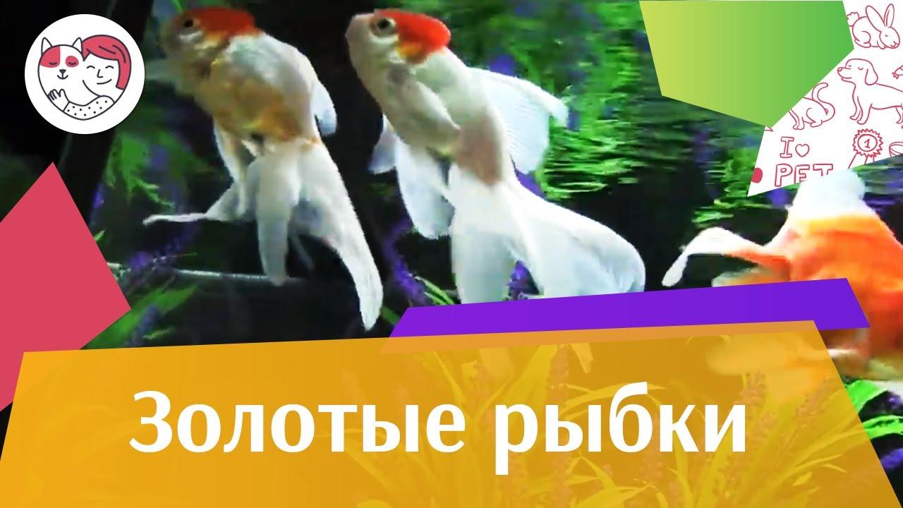 Золотые рыбки Ч 3 АкваЛого на ilikePet