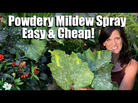 , title : 'Easy, Inexpensive Powdery Mildew Spray for Squash & Cucumbers, Prune Leaves to Keep Production Going