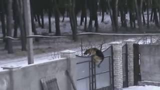 Смотреть всем Джек перепрыгнул двухметровый забор