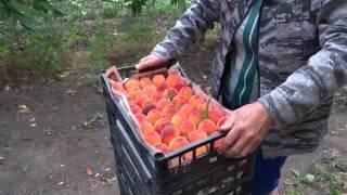 Сбор персика в Анапе и обожженные яблоки