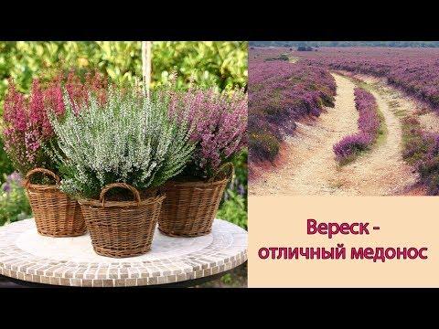 Цветущий вереск 💚 Уход посадка и размножение вереска