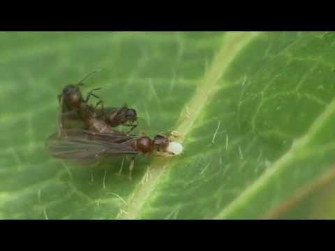 ミツバアリとアリノタカラ Acropyga sp.