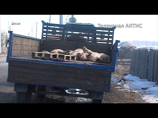 В Монголии вспышка чумы свиней