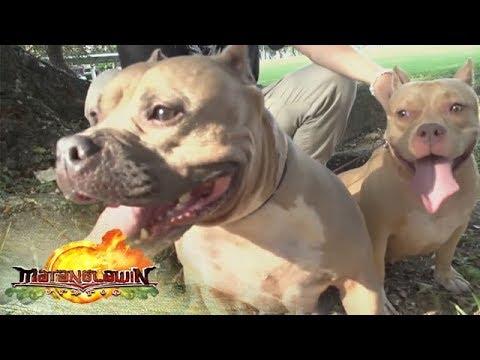 [ABS-CBN]  Matanglawin: Pitbulls