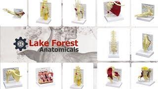 Bone and Joint Models - Bone Models - Joint Models