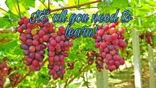 How to grow grapes - Beginner