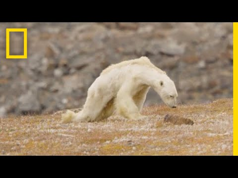 Heart-Wrenching Video: Starving Polar Bear on Iceless Land   National Geographic