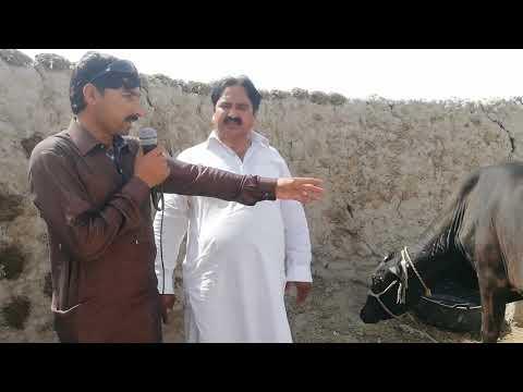 Watch waliyatn coros cow for sale 28_4_2019 in Punjab