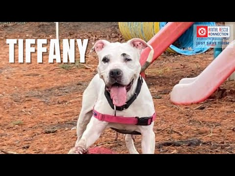 Tiffany, an adoptable Pit Bull Terrier in Attleboro, MA_image-1