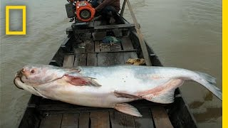 The Elusive Giant Catfish | National Geographic thumbnail