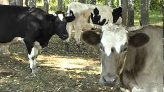 Домашняя ферма   Коровы