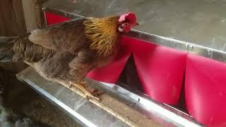 Watch Chickens Lay Eggs Inside The Best Nest Box! - M&M Eggs Farm