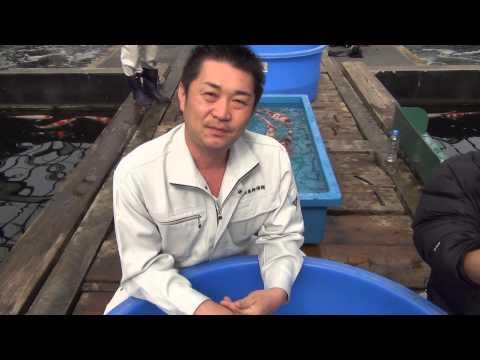 加賀色鯉 大日 昭和三色 52cm 2歳 メス 親鯉:ブタ2段 D029