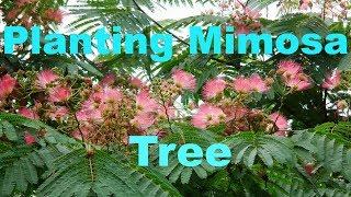 Planting Mimosa Tree Seeds Again!