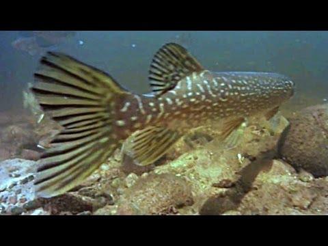 Underwater view of fish life Reedsburg dam, underwater river fishing video, GoPro camera action fun