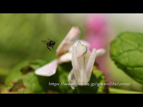 ミツバチとハリナシバチを捕らえるハナカマキリ