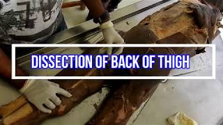 Dissection of Back of Thigh