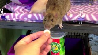How to treat your Pet Rat for Lice and Mites