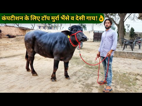 Show Quality Murrah Buffalo's & Haryana desi cow|Nain Dairy Farm Jind Haryana