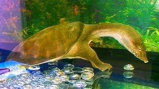 Черепаха Трионикс Мягкотелая. Черепахи Видео. Футажи для видеомонтажа