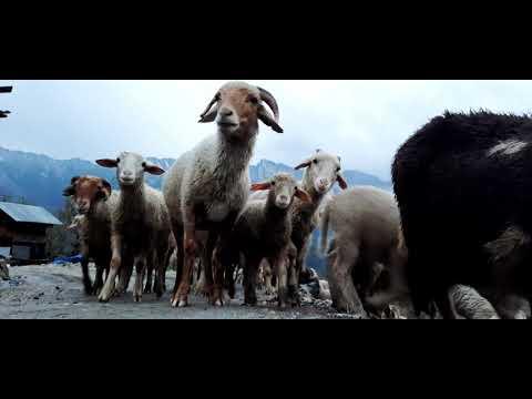 , title : 'Sheeps