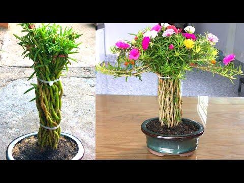Trồng hoa mười giờ thành chậu bonsai mini để bàn dễ thương
