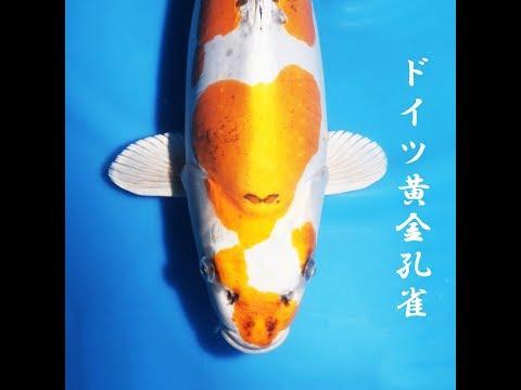 錦鯉/ドイツ黄金孔雀/仙助