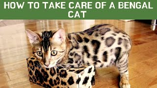 How to take care of a Bengal cat Updated 2021