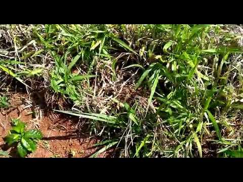 Alternativa para aplicação de herbicida em pequena propriedade sem afetar o café pequeno