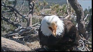 Big Bear Eagle Cam ~ I Want My Fish NOW! ~ Shadow Circles With Fish While Mom Yells 3.27.19
