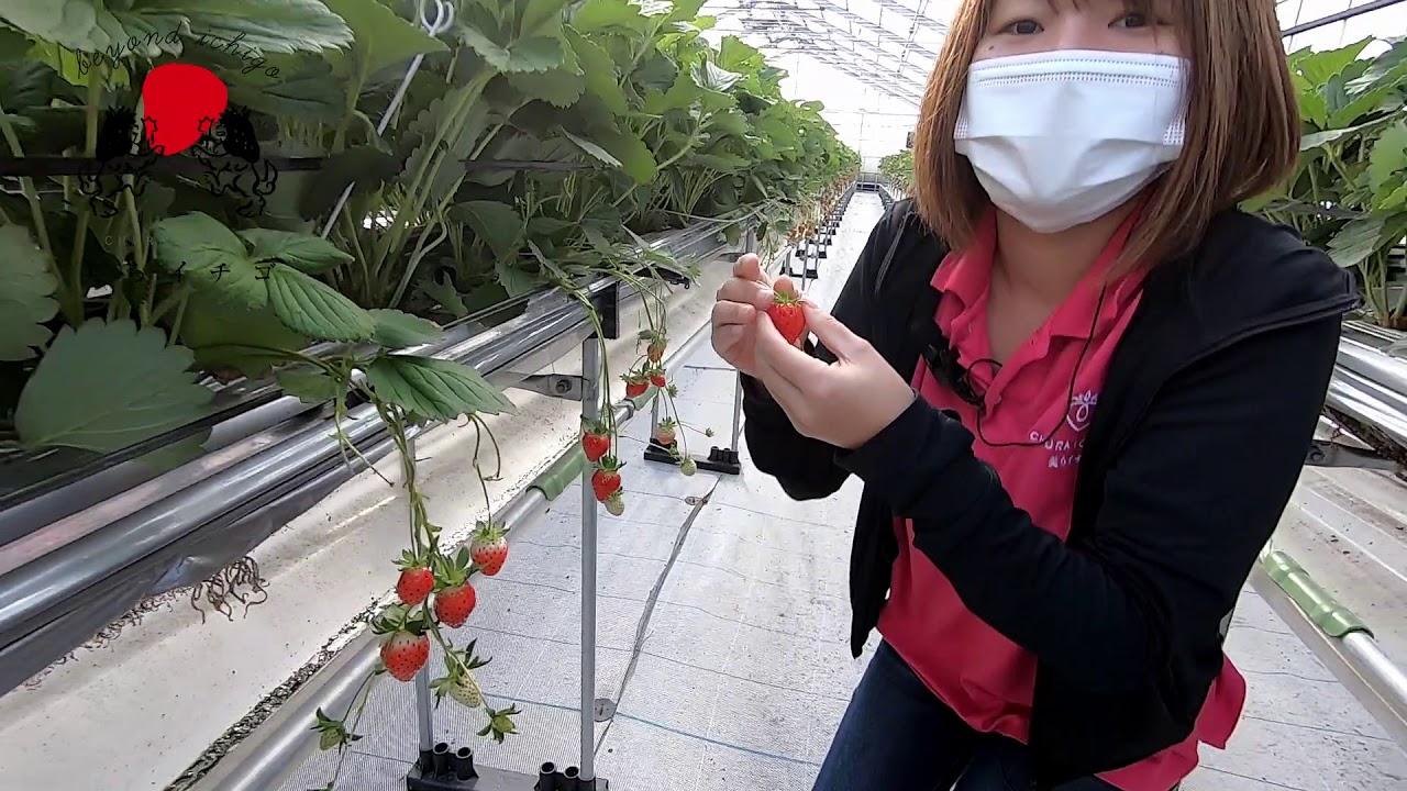 イチゴ狩りの手順ご紹介