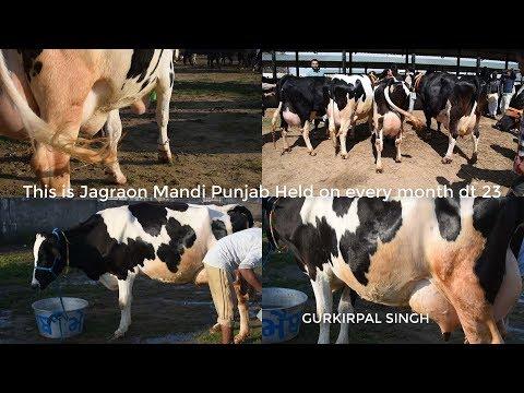 , title : 'Holstein friesian cow milk 50 Liter per day