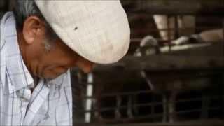 preview picture of video 'Esquila de lana de oveja merina en Grazalema'
