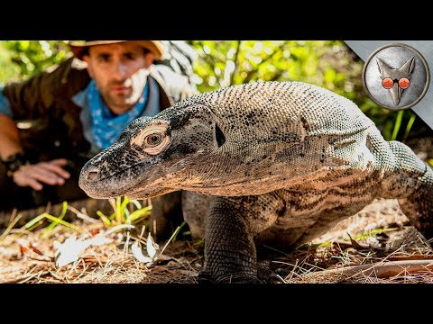 Face to Face with a Komodo Dragon! – in VR180!