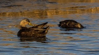 From the Field: Conserving Chesapeake Bay habitat for American Black Ducks