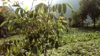 Kalemljeni Orasi   Plodovi 2016