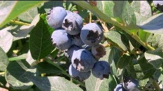 preview picture of video 'Blueberry farm in Delta BC in Summer July 27, 2013'