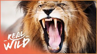 Dominant Male Lion Will Not Tolerate Intruders| Botswana's Animal Kingdoms | Real Wild  Shorts