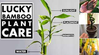 Lucky bamboo plant care in water and soil | Bamboo plant turning yellow