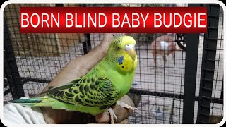 Blind baby budgie