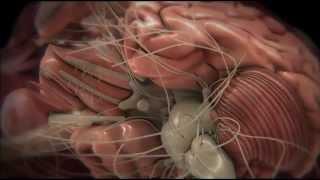 Тело человека   Мозг