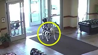 When These Escaped Pit Bulls Walked Into A Hospital, Onlookers Stood Frozen To The Spot